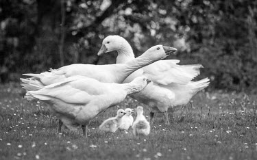 Geese and their goslings domestic,domestic goose,domestic geese,bird,birds,birdlife,avian,aves,wings,feathers,bill,plumage,waterfowl,geese,goose,black and white,family,chicks,chick,gosling,goslings,gaggle,parents,parenthood,y