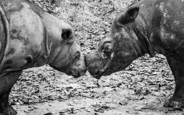 Sumatran rhinos Indonesian recovery programme rhinos,rhino,herbivores,herbivore,vertebrate,mammal,mammals,terrestrial,pygmy rhinoceros,pygmy rhino,Asian two-horned rhinoceros,cute,black and white,friends,relationship,recovery program,conservation