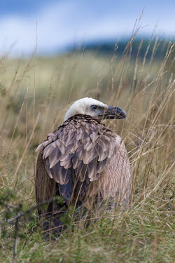 Eurasian griffon on the ground amongst tall grass Griffon vulture,Eurasian griffon vulture,aves,bird,birds,birdlife,avian,birds of prey,vulture,Accipitridae,plumage,feathers,shallow focus,grassland,scavenger,Eurasian griffon,Gyps fulvus,Hawks, Eagles