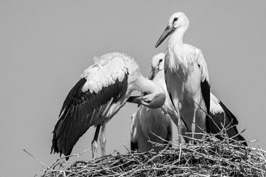 A muster of white storks standing in a large nest bird,birds,birdlife,avian,aves,bill,wader,long legs,long legged,nest,nesting,roost,roosting,group,muster,stork,storks,black and white,White stork,Ciconia ciconia,Chordates,Chordata,Storks,Ciconiidae,C