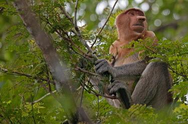 Proboscis monkey sitting in the canopy rainforest,jungle,proboscis,primate,primates,Old World Monkeys,nose,monkey,monkeys,mammals,mammal,male,Herbivorous,forest,Asia,tree,arboreal,face,Proboscis monkey,Nasalis larvatus,Mammalia,Mammals,Cer