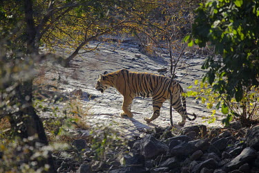 A tiger prowling across an forest clearing tiger,stripy,stripes,predator,patterned,pattern,mammals,forest,habitat,feline,endangered,cat,cats,carnivores,carnivore,camouflage,big cats,big cat,Asia,prowl,prowling,Panthera tigris,Tiger,Carnivores,