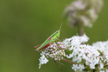 Close up of a grasshopper, Euthystira brachyptera species Euthystira brachyptera,insect,insects,invertebrate,invertebrates,Animalia,Arthropoda,Insecta,Orthoptera,macro,close up,athropods,terrestrial,grasshopper,pretty,colourful,green background,flower,flower