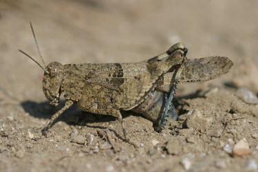 Close up of a grasshopper, Oedipoda caerulescens species Oedipoda caerulescens,insect,insects,invertebrate,invertebrates,Animalia,Arthropoda,Insecta,Orthoptera,macro,close up,athropods,terrestrial,grasshopper