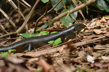 Major skink on forest floor lizards,skinks,Egernia major,Scincidae,Egerniinae,Scincoidea,Sauria,Squamata,lizard,skink,Major skink,Bellatorias frerei