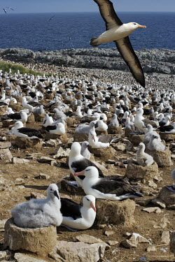 Black-browed albatross adult flying over large colony bird,birds,birdlife,nesting,nests,nest,chicks,chick,young,baby,parent,parents,parenthood,beach,coast,coastline,flying,fly,in flight,colony,albatrosses,Black-browed albatross,Diomedea melanophris,Thala