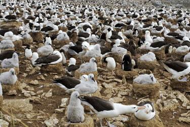 Black-browed albatross nesting colony bird,birds,birdlife,nesting,nests,nest,chicks,chick,young,baby,parent,parents,parenthood,beach,coast,coastline,colony,albatrosses,Black-browed albatross,Diomedea melanophris,Thalassarche melanophrys,P