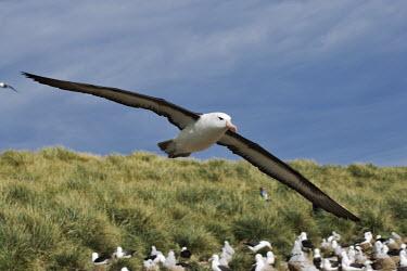 Black-browed albatross nesting colony bird,birds,birdlife,nesting,nests,nest,chicks,chick,young,baby,parent,parents,parenthood,beach,coast,coastline,flying,fly,in flight,colony,tourist,human,people,person,birdwatcher,birdwatching,albatros