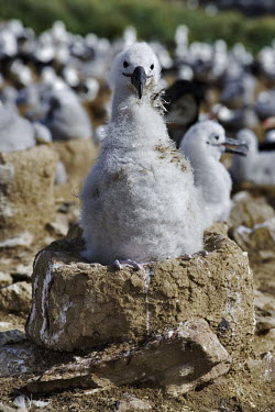 Black-browed albatross chick on nest bird,birds,birdlife,nesting,nests,nest,chicks,chick,young,baby,scruffy,down,feathers,cute,Black-browed albatross,Diomedea melanophris,Thalassarche melanophrys,Procellariiformes,Albatrosses, Petrels,Av
