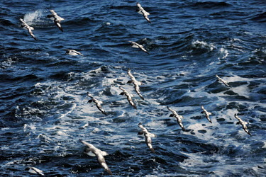 Cape petrel flock flying over the Antarctic ocean flock,flying,in flight,fly,wings,cold,Antarctica,snow,ice,ocean,sea,seabird,seabirds,bird,birds,birdlife,Cape petrel,Daption capense,Chordates,Chordata,Procellariiformes,Albatrosses, Petrels,Procellar