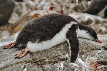 Gentoo penguin chick sleeping on rock due to hot weather sleep,sleeping,napping,tired,lazy,asleep,chick,young,baby,cute,birds,birdlife,bird,penguin,penguins,Gentoo penguin,Pygoscelis papua,Sphenisciformes,Penguins,Chordates,Chordata,Aves,Birds,Spheniscidae,