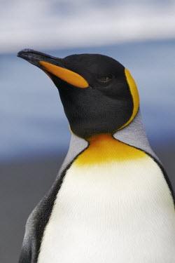 King penguin showing characteristic yellow markings bird,birds,birdlife,penguin,penguins,yellow,pattern,King penguin,Aptenodytes patagonicus,Sphenisciformes,Penguins,Spheniscidae,Ciconiiformes,Herons Ibises Storks and Vultures,Aves,Birds,Chordates,Chor