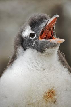 Gentoo penguin chick calling calling,call,vocalising,bill,mouth,head,gape,chick,young,baby,cute,birds,birdlife,bird,penguin,penguins,Gentoo penguin,Pygoscelis papua,Sphenisciformes,Penguins,Chordates,Chordata,Aves,Birds,Sphenisci