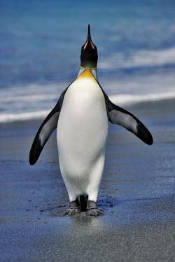 King penguin exiting the water bird,birds,birdlife,penguin,penguins,coast,sea,ocean,seabird,King penguin,Aptenodytes patagonicus,Sphenisciformes,Penguins,Spheniscidae,Ciconiiformes,Herons Ibises Storks and Vultures,Aves,Birds,Chord