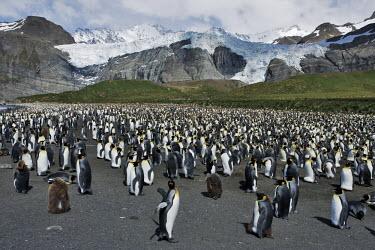 King penguin colony colony,landscape,penguins,penguin,chicks,chick,mountain,ice,snow,cold,habitat,bird,birds,King penguin,Aptenodytes patagonicus,Sphenisciformes,Penguins,Spheniscidae,Ciconiiformes,Herons Ibises Storks a