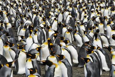 King penguin colony bird,birds,birdlife,penguin,penguins,colony,King penguin,Aptenodytes patagonicus,Sphenisciformes,Penguins,Spheniscidae,Ciconiiformes,Herons Ibises Storks and Vultures,Aves,Birds,Chordates,Chordata,Man