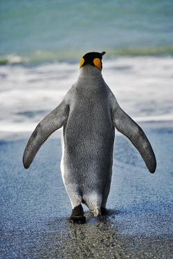 King penguin entering the water bird,birds,birdlife,penguin,penguins,coast,sea,ocean,seabird,behind,back,from behind,King penguin,Aptenodytes patagonicus,Sphenisciformes,Penguins,Spheniscidae,Ciconiiformes,Herons Ibises Storks and V