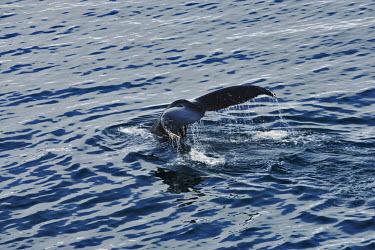 Humpback whale tail whales,whale watching,cetaceans,fluke,tail fluke,tail,ocean,sea,water,Humpback whale,Megaptera novaeangliae,Rorquals,Balaenopteridae,Cetacea,Whales, Dolphins, and Porpoises,Chordates,Chordata,Mammalia