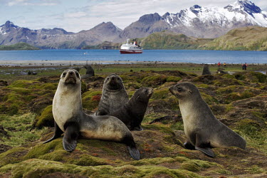 Antarctic fur seals with tourists seal,seals,pinnepeds,pinneped,tourism,tourist,humans,human,tourists,ecotourism,wildlife tourism,Antarctic fur seal,Arctocephalus gazelle,Arctocephalus gazella,Chordates,Chordata,Otariidae,Eared Seals,