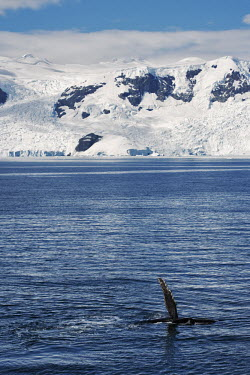 Humpback whale tail whales,whale watching,landscape,ice,snow,snowy,cold,cold weather,mountain,habitat,Christmas,Humpback whale,Megaptera novaeangliae,Rorquals,Balaenopteridae,Cetacea,Whales, Dolphins, and Porpoises,Chord