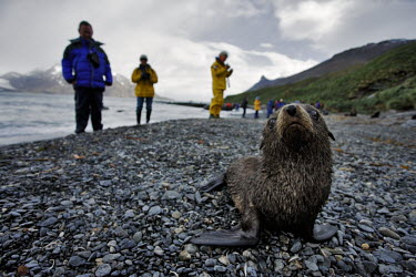 Antarctic fur seals with tourists seal,seals,pinnepeds,pinneped,baby,pup,young,cute,tourism,tourist,humans,human,tourists,ecotourism,wildlife tourism,Antarctic fur seal,Arctocephalus gazelle,Arctocephalus gazella,Chordates,Chordata,Ot