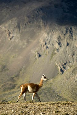 Guanaco in mountain habitat Mountains,Habitat,Adult,Walking,Grassland,Locomotion,Species in habitat shot,Lama guanicoe,Guanaco,Chordates,Chordata,Camelidae,Camels,Even-toed Ungulates,Artiodactyla,Mammalia,Mammals,Cetartiodactyla