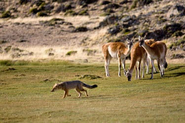 Guanacos observing an Andean fox, which may predate on juveniles Adult,Predators,Habitat,Species in habitat shot,Grassland,Inter-specific Relationships,Lama guanicoe,Guanaco,Chordates,Chordata,Camelidae,Camels,Even-toed Ungulates,Artiodactyla,Mammalia,Mammals,Cetar