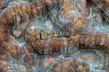 Eyebar goby are usually found in the sand, but occasionally perch on coral Eyebar goby,Bridled goby,Cauer eye-bar goby,Eye-bar sand-goby,Shoulderspot goby,Shoulder-spot sand goby,Animalia,Chordata,Actinopterygii,Perciformes,Gobiidae,Gnatholepis cauerensis,fish,vertebrates,wa