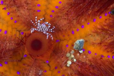 A zebra crab on a fire urchin crab,crabs,crustacean,crustaceans,exoskeleton,claw,claws,reef,reef life,Animalia,Arthropoda,Crustacea,Malacostraca,Brachyura,Pilumnidae,Eumedoninae,Zebrida,Zebrida adamsii,zebra crab,black and white,p