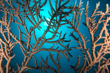 Branching staghorn coral coral,corals,coral reef,reef,invertebrate,invertebrates,marine invertebrate,marine invertebrates,branching,branching coral,staghorn coral,blue,marine,marine life,sea,sea life,ocean,oceans,water,underw