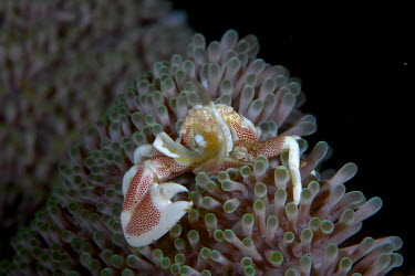 Spotted porcelain crab, filter feeding Spotted porcelain crab,crab,crabs,crustacean,crustaceans,exoskeleton,claw,claws,reef,reef life,Animalia,Arthropoda,Crustacea,Malacostraca,Decapoda,Anomura,Porcellanidae,Neopetrolisthes,Neopetrolisthes