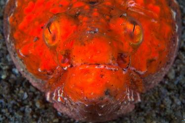 Crocodile snake eel, waiting in the sand for prey Crocodile snake eel,Animalia,Chordata,Actinopterygii,Anguilliformes,Ophichthidae,Brachysomophis,Brachysomophis crocodilinus,close up,face,eyes,skin,texture,red,orange,buried,sand,burrow,burrower,ambus