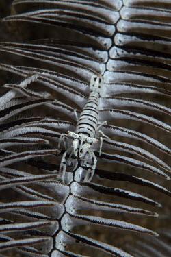 Crinoid shrimp camouflaged against its crinoid host crinoid shrimp,shrimp,shrimps,crustacean,crustaceans,exoskeleton,claw,claws,reef,reef life,Animalia,Arthropoda,Crustacea,Malacostraca,Decapoda,Caridea,Hippolytidae,Hippolyte,Hippolyte catagrapha,marin