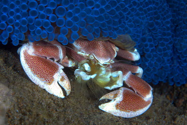 A spotted porcelain crab settled under a striking blue carpet of anemone Spotted porcelain crab,crab,crabs,crustacean,crustaceans,exoskeleton,claw,claws,reef,reef life,Animalia,Arthropoda,Crustacea,Malacostraca,Decapoda,Anomura,Porcellanidae,Neopetrolisthes,Neopetrolisthes