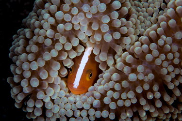 An anemonefish buried in its protective host anemone anemonefish,anemone fish,skunk anemone fish,fish,vertebrates,water,underwater,aquatic,marine,marine life,sea,sea life,ocean,oceans,sea creature,Chordata,Actinopterygii,Perciformes,Pomacentridae,Amphip