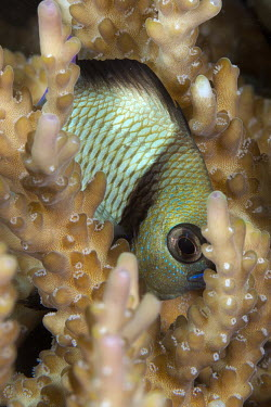 Reticulated dascyllus, also know as a reticulated damselfish Reticulated dascyllus,fish,vertebrates,water,underwater,aquatic,marine,marine life,sea,sea life,ocean,oceans,sea creature,coral,coral reef,reef,damsel fish,Animalia,Chordata,Actinopterygii,Perciformes