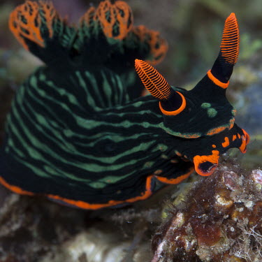 A colourful nudibranch, Nembrotha kubayana spp. marine,marine life,sea,sea life,ocean,oceans,water,underwater,aquatic,sea creature,nudibranch,nudibranchs,gastropod,gastropods,mollusc,molluscs,reef,reef life,macro,close up,orange,green,striped,strip