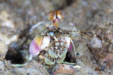 A species of mantis shrimp, removing sand from its burrow marine,marine life,sea,sea life,ocean,oceans,water,underwater,aquatic,invertebrate,invertebrates,marine invertebrate,marine invertebrates,sea creature,crustacean,crustaceans,exoskeleton,claw,claws,ree