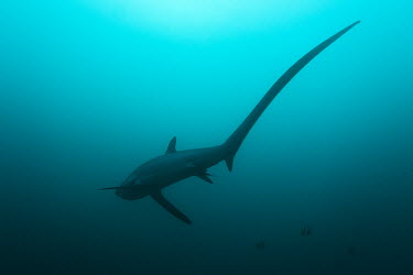 Pelagic thresher shark swimming away thresher,thresher shark,pelagic thresher,shark,sharks,sharks and rays,elasmobranch,elasmobranchs,elasmobranchii,predator,marine,marine life,sea,sea life,ocean,oceans,water,underwater,aquatic,sea creat