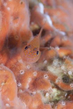 A stripehead dwarf goby, camouflaged against similar coloured coral. marine,marine life,sea,sea life,ocean,oceans,water,underwater,aquatic,sea creature,Stripehead Dwarf Goby,Red-lined Pygmy-goby,Stripehead Goby,Trimma striatum,macro,close up,fish,reef,coral reef,Animal