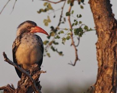 A red-billed hornbill at dusk Red-billed hornbill,Animalia,Chordata,Aves,Bucerotiformes,Bucerotidae,Tockus erythrorhynchus,hornbill,bird,birds,bill,perched,perch,perching,Africa