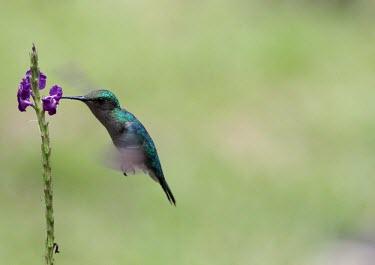 Grey-breasted sabrewing feeding from a flower hummingbird,hummingbirds,humming bird,pollination,pollinator,tropical,tropics,bird,birds,feeding,flight,in-flight,flying,hover,hovering,bill,adaptation,flower,nectar,wingbeat,shallow focus,green backg