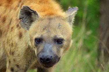 Close up of a spotted hyaena hyaena,hyena,spotted hyena,predator,scavenger,carnivore,spotted,spots,pattern,patterned,mane,savanna,savannah,Africa,face,close up,snout,nose,ear,shallow focus,looking at camera,Spotted hyaena,Crocuta