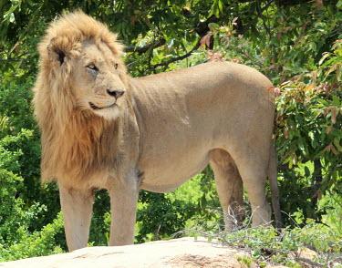 A male lion surveying his surrounding cat,cats,feline,felidae,predator,carnivore,big cat,big cats,lions,apex,vertebrate,mammal,mammals,terrestrial,Africa,African,savanna,savannah,safari,mane,profile,face,male,Lion,Panthera leo,African lio