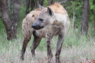 Spotted hyaena looking to its side hyaena,hyena,spotted hyena,predator,scavenger,carnivore,spotted,spots,pattern,patterned,mane,savanna,savannah,Africa,grassland,profile,Spotted hyaena,Crocuta crocuta,Chordates,Chordata,Hyaenidae,Hyena