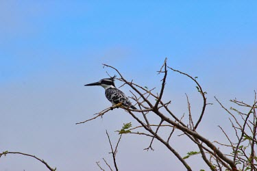 Pied kingfisher perched in tree kingfisher,kingfishers,bird,birds,perch,perched,sky,blue,bill,black and white,monochrome,Africa,Pied kingfisher,Ceryle rudis,Coraciiformes,Rollers Kingfishers and Allies,Alcedinidae,Kingfishers,Chorda