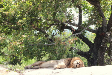 A male lion snoozing in the shade cat,cats,feline,felidae,predator,carnivore,big cat,big cats,lions,apex,vertebrate,mammal,mammals,terrestrial,Africa,African,savanna,savannah,safari,sunbathing,snooze,sunbathe,sleep,sleeping,asleep,res