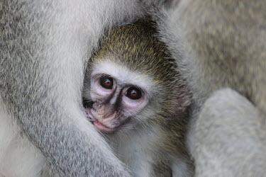 A baby vervet monkey snuggled under the arms of a parent monkey,monkeys,primate,primates,arboreal,baby,young,juvenile,face,cute,innocent,eyes,fur,furry,Vervet,Chlorocebus pygerythrus,Primates,Chordates,Chordata,Old World Monkeys,Cercopithecidae,Mammalia,Mam