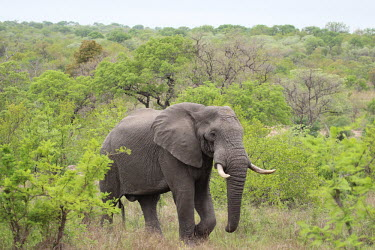 African elephant passing through forest mastodon,mastodons,mammoth,mammoths,elephant,elephants,trunk,trunks,herbivores,herbivore,vertebrate,mammal,mammals,terrestrial,Africa,African,savanna,savannah,safari,green background,forest,ear,ears,t