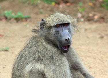 Chacma baboon with a startled expression on its face baboon,monkey,monkeys,primate,primates,mammal,mammals,vertebrate,vertebrates,terrestrial,fur,furry,savanna,savannah,face,shocked,shock,surprised,expression,Chacma baboon,Papio ursinus,Old World Monkey